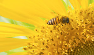 Bee on a sunflower.